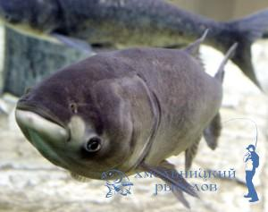 Rybolov.km.ua ловим толстолобика, толстолобик