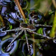 Павук-рибалка