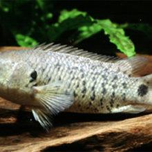 Риба, що здатна залізти на дерево