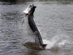 Тарпон – видатний стрибун
